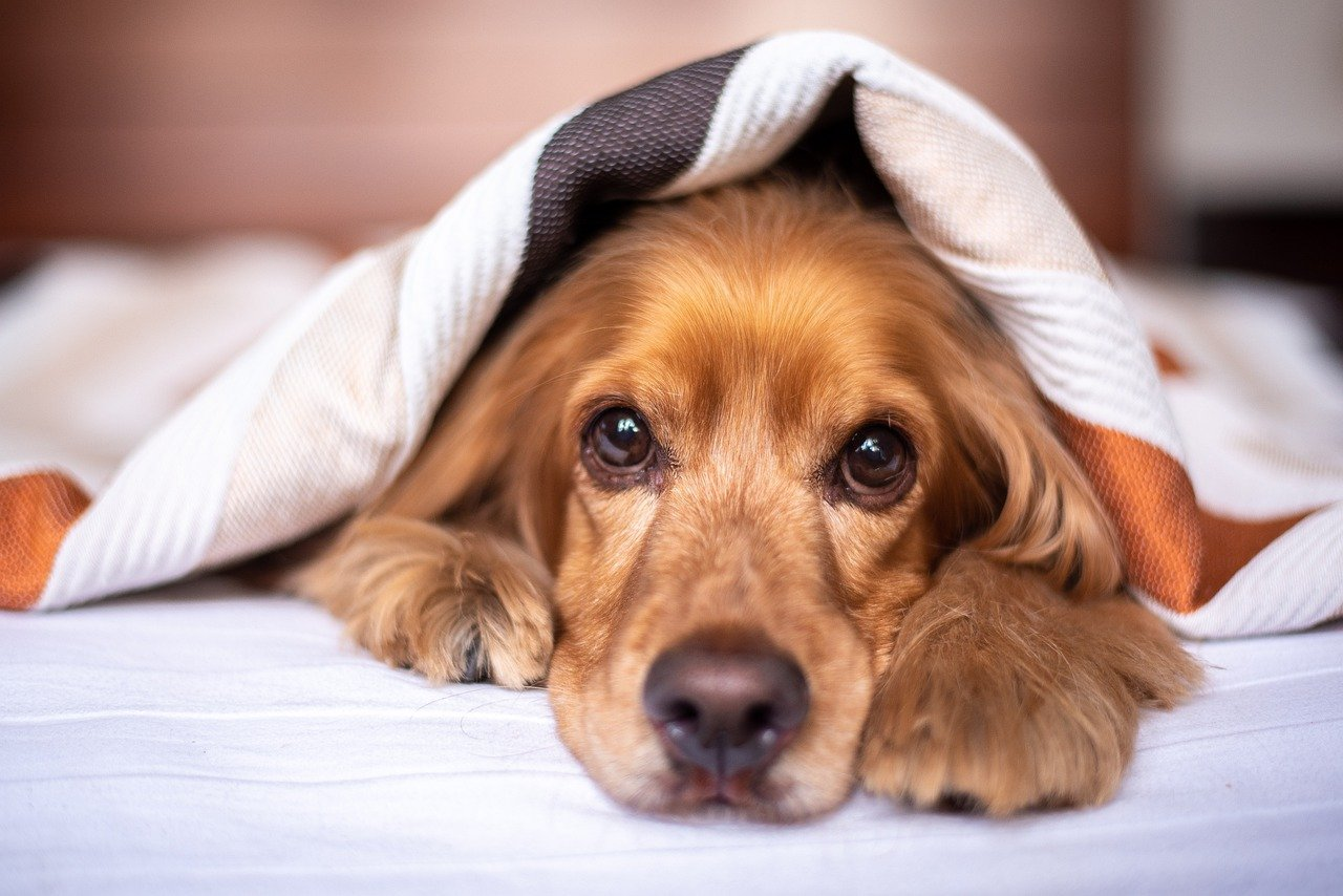 english cocker spaniel, dog, puppy